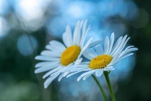 due fiori di marguerite con sfondo blu tenue foto