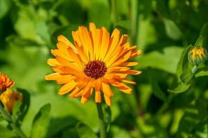 vibrante fiore arancione aster foto