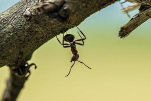 formica di legno appesa a testa in giù su un ramo foto