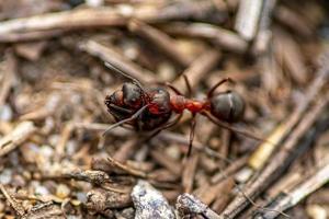 primo piano di una formica di legno che trasporta una formica morta foto