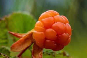 Close up di un lampone fresco ancora in crescita sulla pianta foto