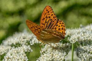 farfalla maculata arancione foto