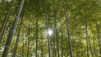 sole nella foresta di alberi di bambù foto