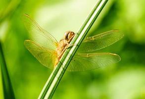 ritratto di una libellula su uno sfondo di pianta verde foto