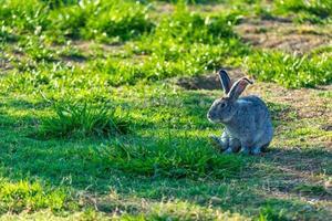 soffici conigli al pascolo sul prato foto