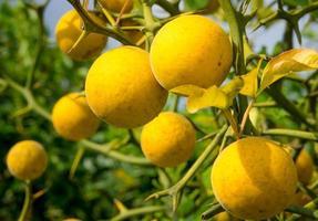 poncirus di frutta gialla sullo sfondo di rami spinosi e cielo. foto