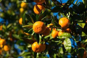 brillante frutto di mandarino su uno sfondo di cielo azzurro foto