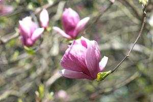 fiori primaverili di magnolia rosa su rami lunghi su sfondo chiaro foto