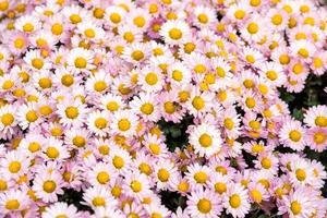 sfondo floreale fiore rosa crisantemo nel letto del giardino. foto
