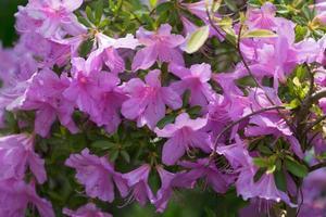 sfondo floreale con un sacco di fiori rosa su un cespuglio di rododendro foto