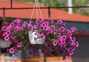 fiori di petunia rosa in un vaso sospeso su uno sfondo sfocato. foto