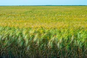 campo di grano. campo agricolo con diverse varietà di grano foto