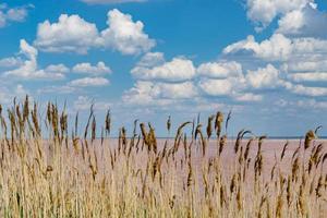 paesaggio naturale con canne sullo sfondo di un sivash rosa del lago salato. foto