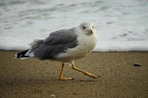 ritratto di un grande gabbiano di mare sulla sabbia gialla. foto