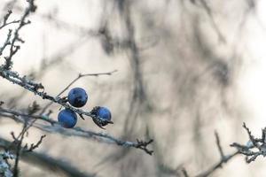 tre bacche di prugnole mature pendono su un ramo senza foglie foto