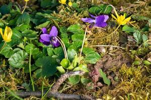 Close up di fioritura violette marzo tra fili d'erba e piccoli fiori foto