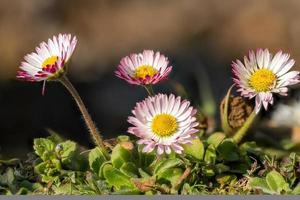 ripresa macro di un gruppo di margherite bianche rosse nell'erba foto