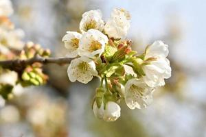 colpo di dettaglio di un ramo del ciliegio con fiori, boccioli e foglie foto