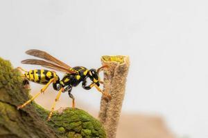 vista laterale di una vespa strisciante sul margine fogliare foto