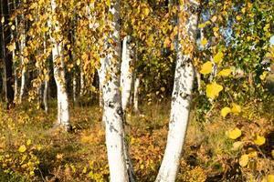 sfondo autunnale naturale con alberi di betulla foto