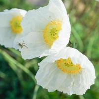 sfondo floreale con papavero bianco dell'estremo oriente foto