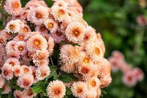 fiori di crisantemo su uno sfondo sfocato foto