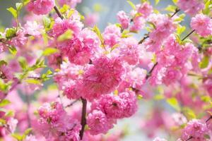 foto a macroistruzione dei fiori di sakura rosa della natura.