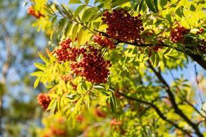 rami di cenere di montagna con frutti rossi foto