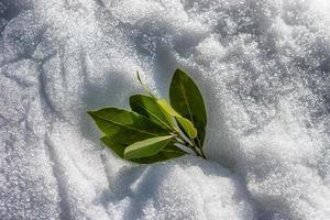 foglie di alloro verde su uno sfondo di neve bianca con tempo soleggiato foto