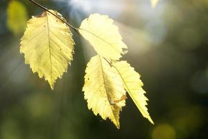 foglie gialle su un ramo di albero sottile su sfondo verde scuro sfocato. foto