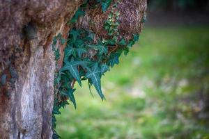 edera penzolante sul tronco di un vecchio albero su sfondo verde sfocato foto