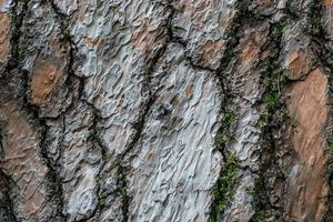 corteccia goffrata struttura naturale di un albero di pino foto