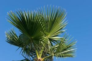 la palma a ventaglio del tronco con grandi foglie contro foto
