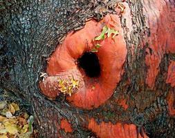 buco del tronco - la base di un grande albero di madrone - casey state rec. sito - mcleod, o foto