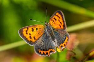 primo piano di una piccola farfalla di rame alla luce del sole foto