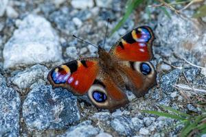 primo piano di una farfalla pavone colorata foto