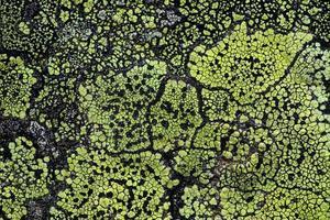 licheni che crescono su una roccia foto