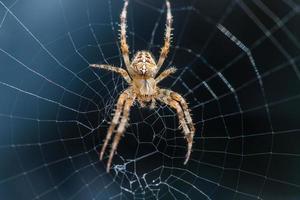 ragno incrociato seduto al centro del web foto