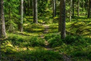 percorso a piedi attraverso una pineta in Svezia foto