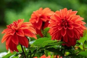 Close up di un gruppo di vibranti fiori rossi dalia foto