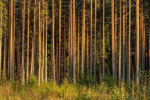 foresta di pini e abeti nella luce del sole di sera giallo foto