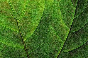 Close up di una foglia verde retroilluminato con doppie vene foto
