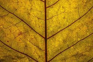 Close up di una foglia gialla retroilluminata con venature rosse foto