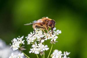 primo piano di una mosca cavallo seduto su un fiore bianco foto