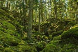 foresta cresciuta selvaggia su un versante coperto di muschio in Svezia foto