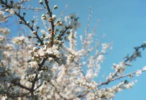 sfondo floreale naturale di un albero da frutto in fiore. foto