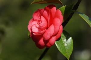 bellissimo fiore rosa camelia foto