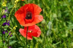 fiore di papavero sullo sfondo foto