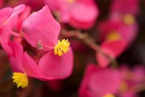 sfondo floreale rosa con fiori di begonia closeup foto