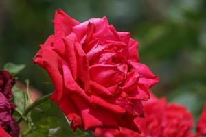 sfondo floreale con lussureggianti rose rosse. natura, paesaggio. foto